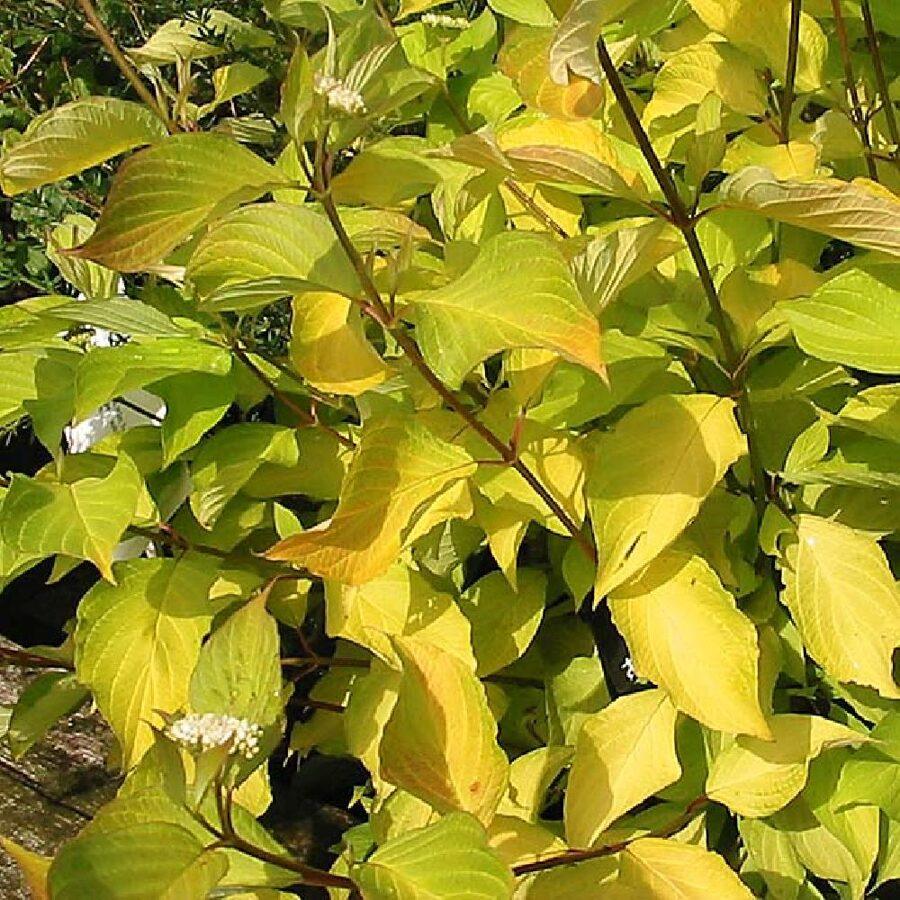 Cornus alba 'Aurea' Baltais grimonis