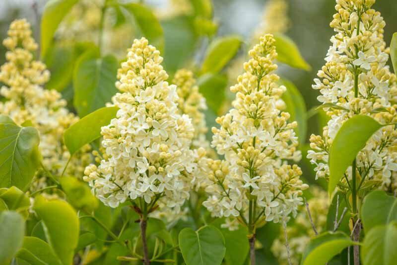 Syringa vulgaris 'Primrose' Parastais ceriņš