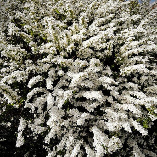 Spiraea nipponica 'Snowmound' Niponas spireja
