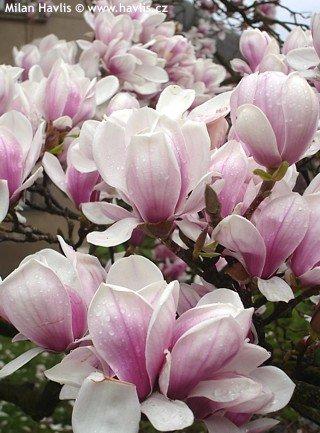 Magnolia x soulangeana Sulanža magnolija