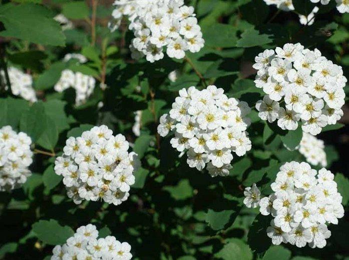 Spiraea betulifolia 'Tor' Bērzlapu spireja