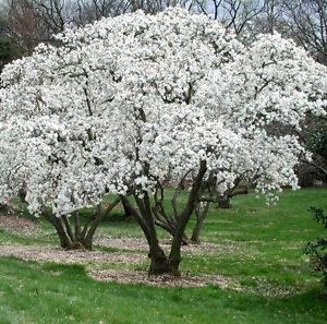 Magnolia stellata Zvaigžņu magnolija