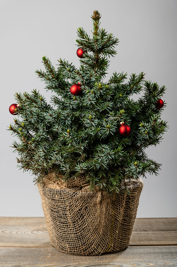 Picea omorica 'Nana' Serbijas egle