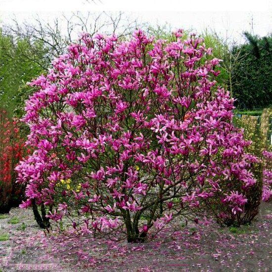 Magnolia 'Susan' Magnolija