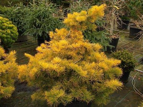 Abies concolor 'Wintergold' Vienkrāsas baltegle