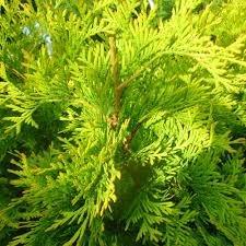 Thuja occidentalis 'Yellow Ribbon'  Rietumu tūja