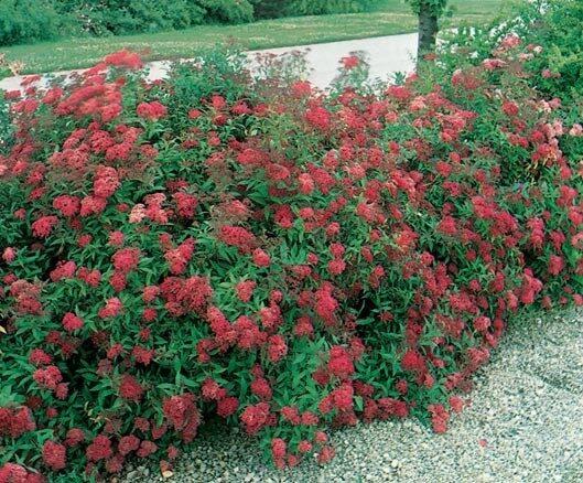 Spiraea japonica 'Dart's Red' Japānas spireja