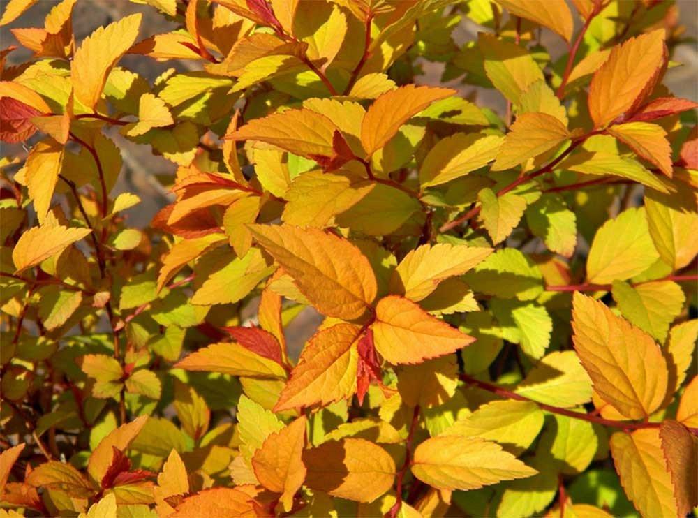 Spiraea japonica 'Firelight' Japānas spireja