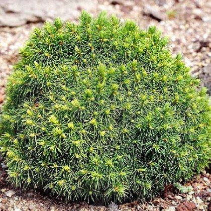 Picea glauca 'Alberta Globe' Kanādas egle