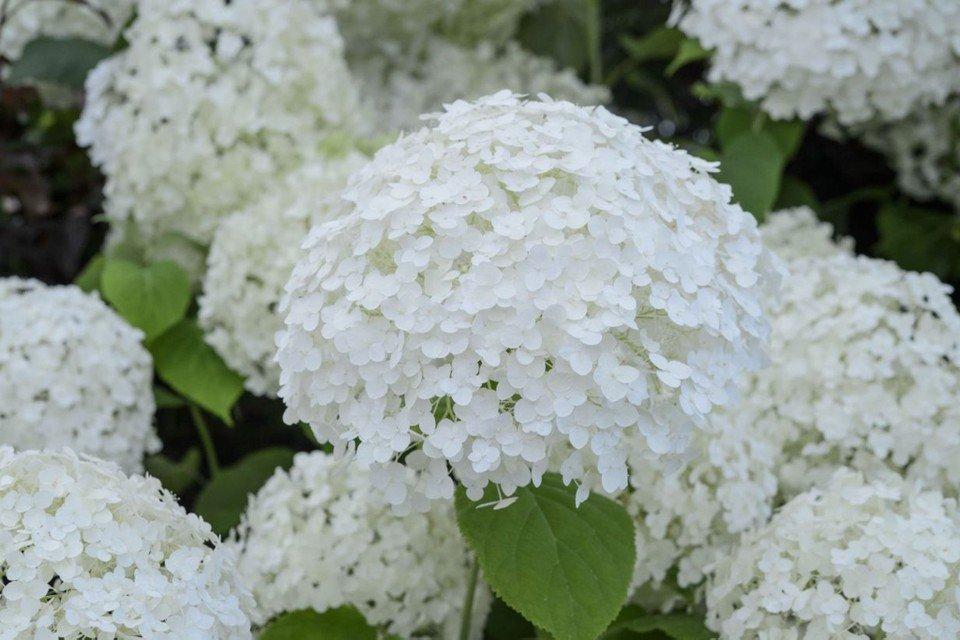 Hydrangea arborescens 'Annabelle' Kokveida hortenzija