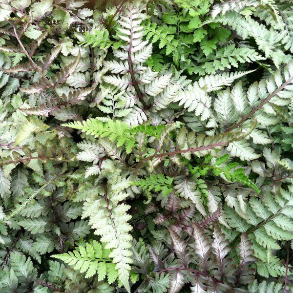 """Athurium niponicum """"Metallicum"""" Paparde"""