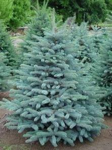Picea pungens 'Blue Mountain' Asā egle