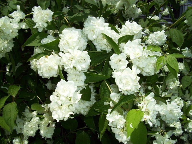 Philadelphus 'Bouquet Blanc' Filadelfs