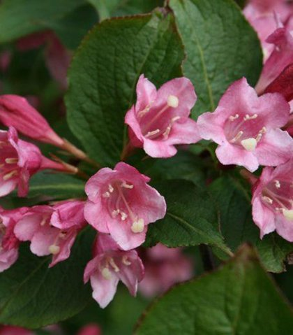 Weigela praecox 'Bouquet Rose' Agrā veigela