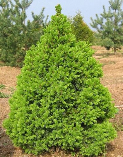 Picea glauca 'Conica' Kanādas egle