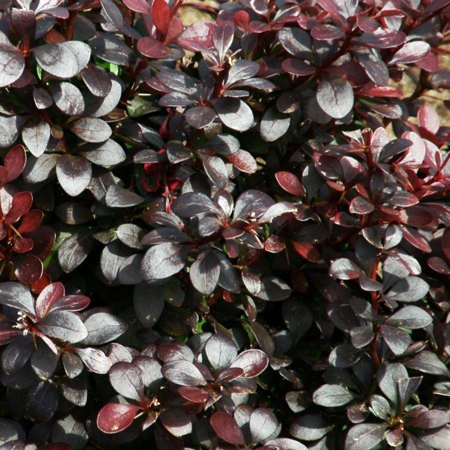 Berberis thunbergii 'Dart's Purple' Tunberga bārbele