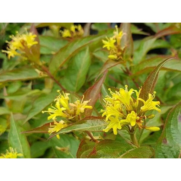 Diervilla sessilifolia Djervila sēdlapu