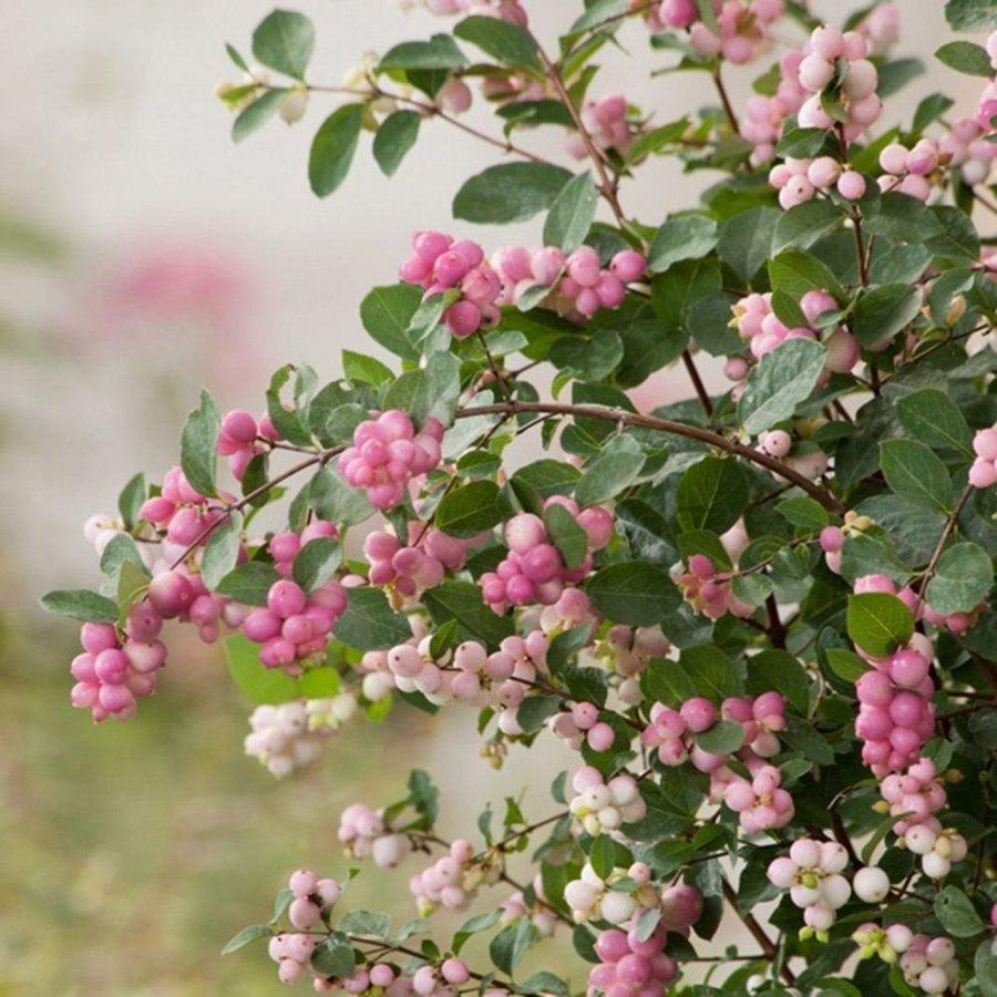 Symphoricarpos × doorenbosii Dorenbosa sniegoga