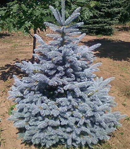 Picea pungens 'Fat Albert' Asā egle