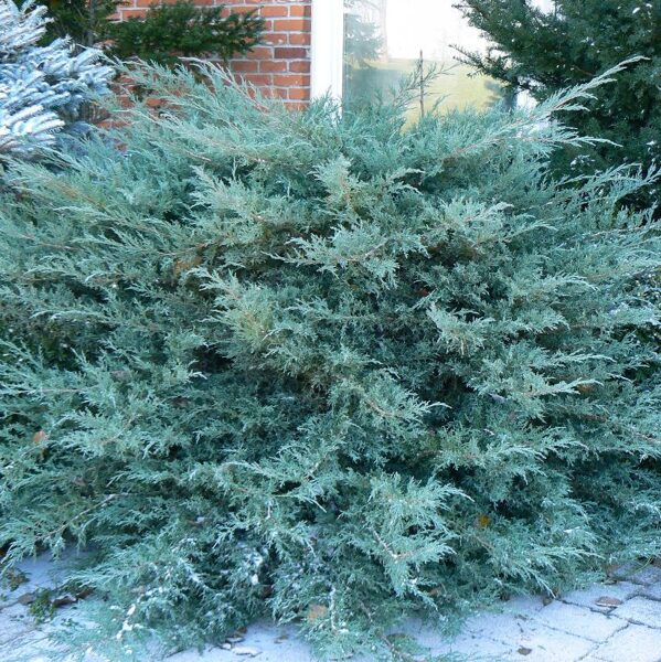 Juniperus x pfitzeriana 'Pfitzeriana Glauca' Vidējais kadiķis
