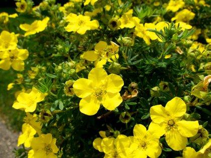 Potentilla fruticosa 'Gold Drop' Parastā klinšrozīte