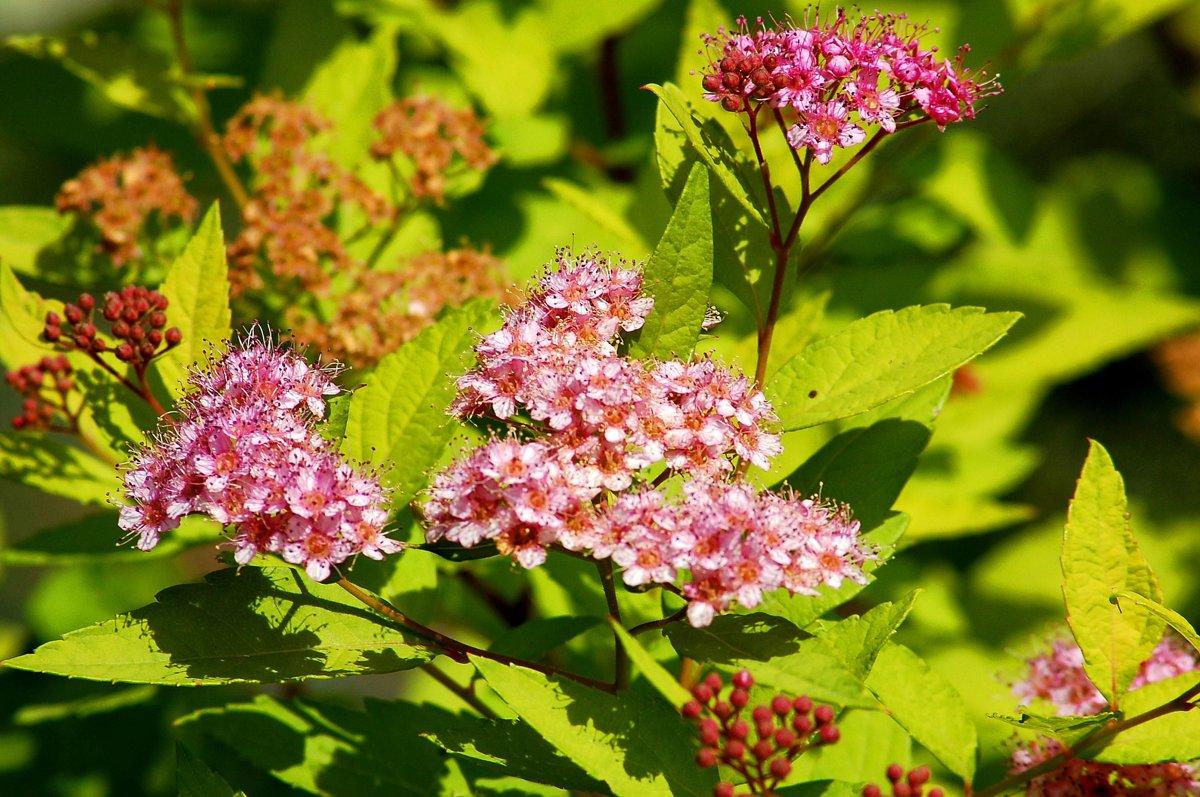 Spiraea japonica 'Goldmound' Japānas spireja