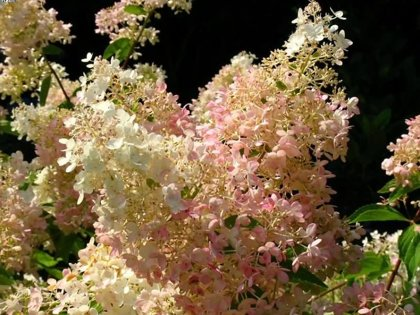 Hydrangea paniculata 'Grandiflora' Skarainā hortenzija