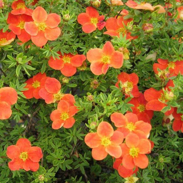 Potentilla fruticosa 'Hoopleys Orange' Parastā klinšrozīte