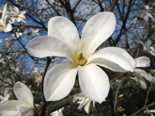 Magnolia kobus Kobus magnolija
