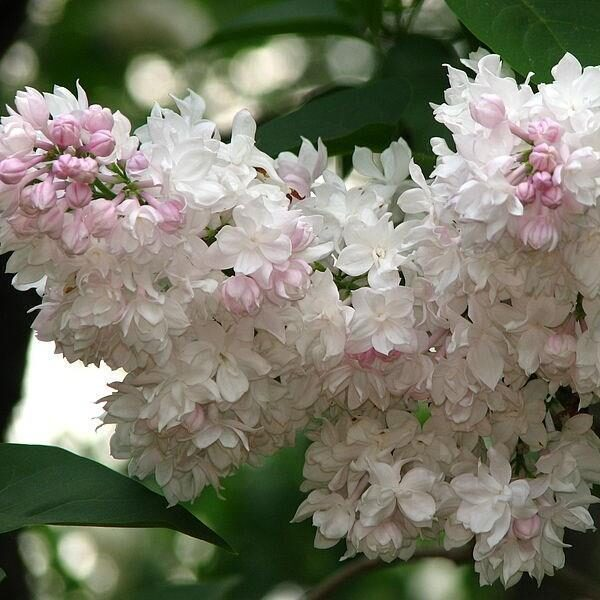 Syringa vulgaris 'Krasavitsa Moskvy' Parastais ceriņš