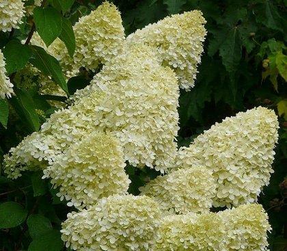 Hydrangea paniculata 'Limelight' Skarainā hortenzija