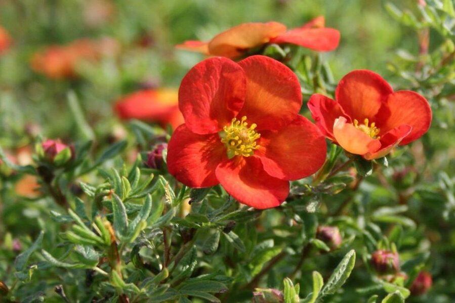 Potentilla fruticosa 'Marian Red Robin' Parastā klinšrozīte
