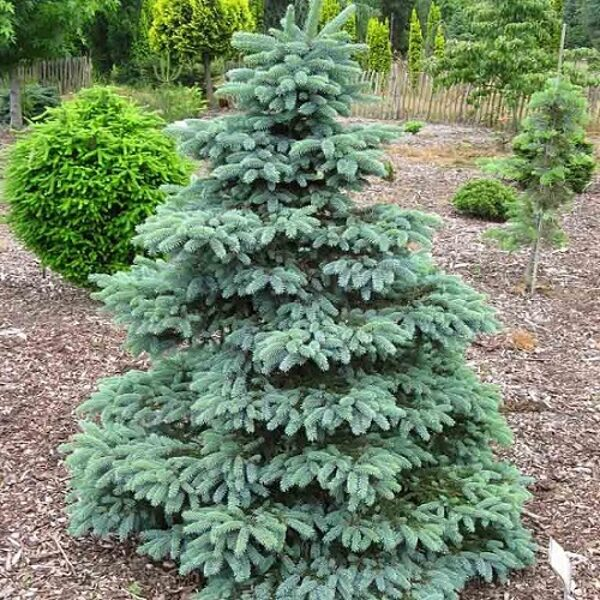 Picea pungens 'Misty Blue' Asā egle