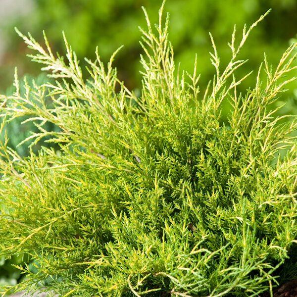 Juniperus x pfitzeriana 'Old Gold' Vidējais kadiķis