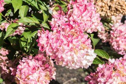 Hydrangea paniculata 'Phanthom' Skarainā hortenzija