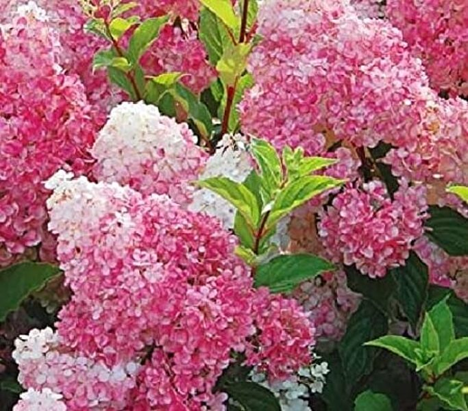 Hydrangea paniculata 'Pink Lady' Skarainā hortenzija