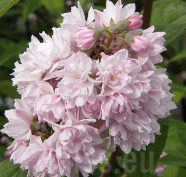 Deutzia x hybrida 'Pink Pom Pom' Hibrīdā deicija