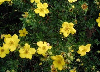 Potentilla fruticosa 'Jolina' Parastā klinšrozīte