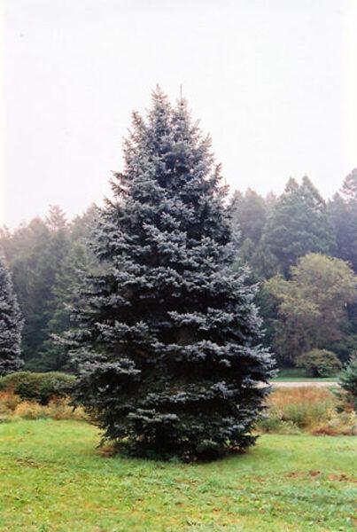 Picea pungens 'Royal Blue'  Asā egle