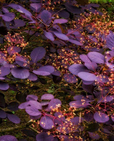 Cotinus coggygria 'Royal Purple' Parastais parūkkoks