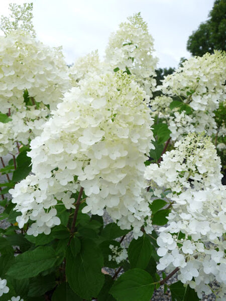 Hydrangea paniculata 'Silver Dollar' Skarainā hortenzija