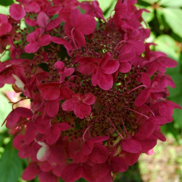 Hydrangea paniculata 'Wim's Red' Skarainā hortenzija