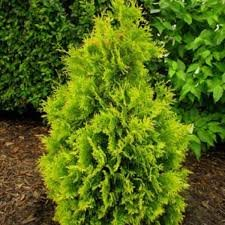 Thuja occidentalis 'Yellow Ribbon'  Rietumu tūja