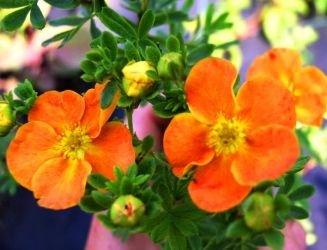 Potentilla fruticosa 'Tangerine' Parastā klinšrozīte