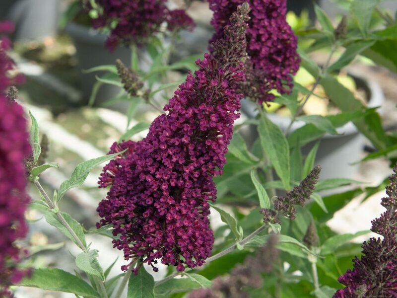 Buddleia hybrida 'Buzz Wine' Hibrīdā budleja