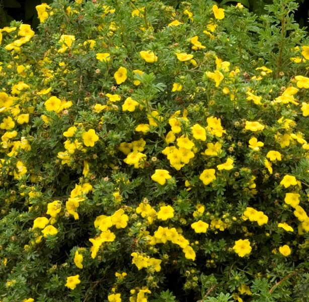 Potentilla fruticosa 'Goldfinger' Parastā klinšrozīte