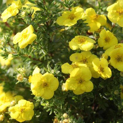 Potentilla fruticosa 'Kobold' Parastā klinšrozīte