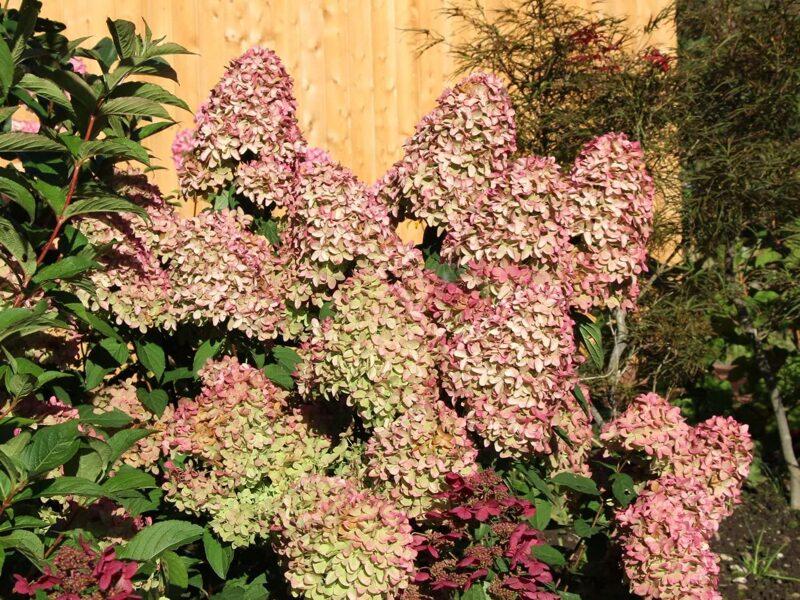 Hydrangea paniculata 'Magical Candle' Skarainā hortenzija