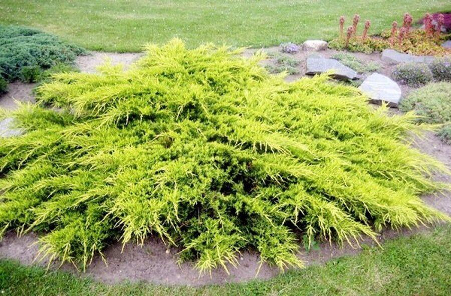 Juniperus x pfitzeriana 'Pfitzeriana Aurea' Vidējais kadiķis