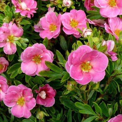 Potentilla fruticosa 'Pink Qeen' Parastā klinšrozīte